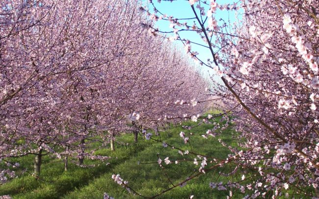 peach bloom in Extremadura